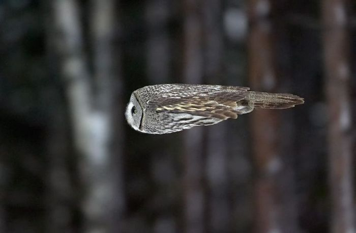 owl in flight Owl in Flight Nature birds