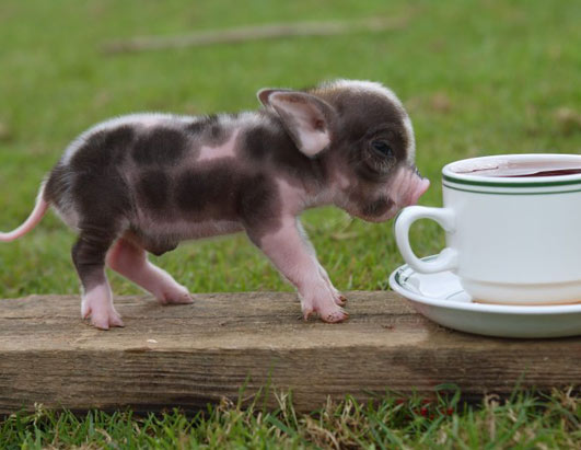 Mini Pig 1 Super Teacup Pigs, Latest Pet Craze Cute As Hell Animals