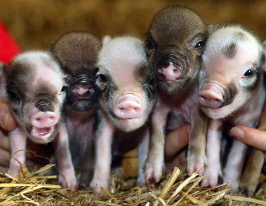 Mini Pig 3 Super Teacup Pigs, Latest Pet Craze Cute As Hell Animals