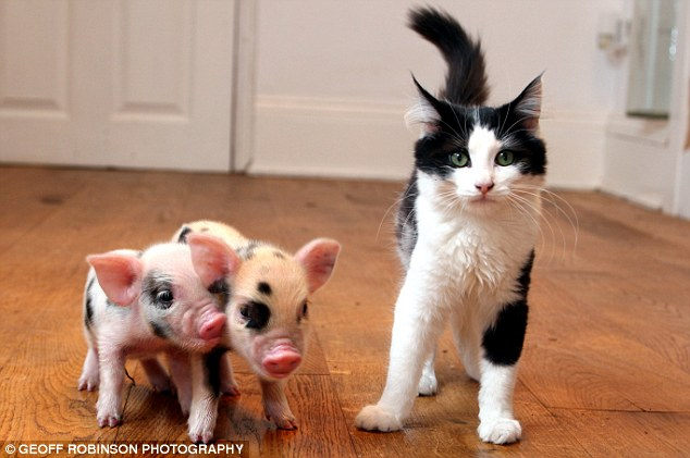 article 0 06b81058000005dc 588 634x421 Super Teacup Pigs, Latest Pet Craze Cute As Hell Animals