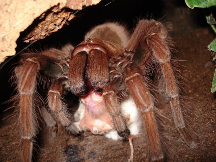 Theraphosa_blondi_eating_mouse.jpg (118 KB)