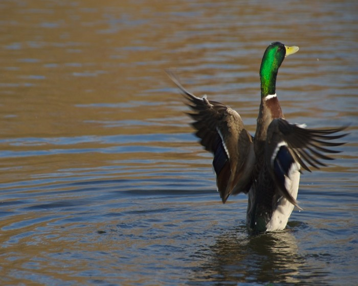 duck_stretching_wings.jpg (336 KB)
