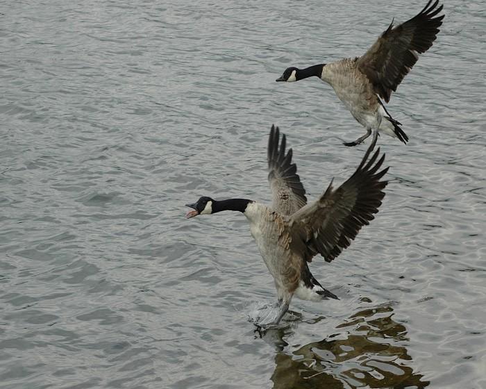 geese_landing_on_water.jpg (551 KB)