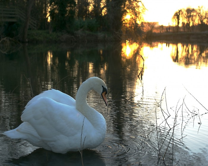 sunset_swan.jpg (424 KB)