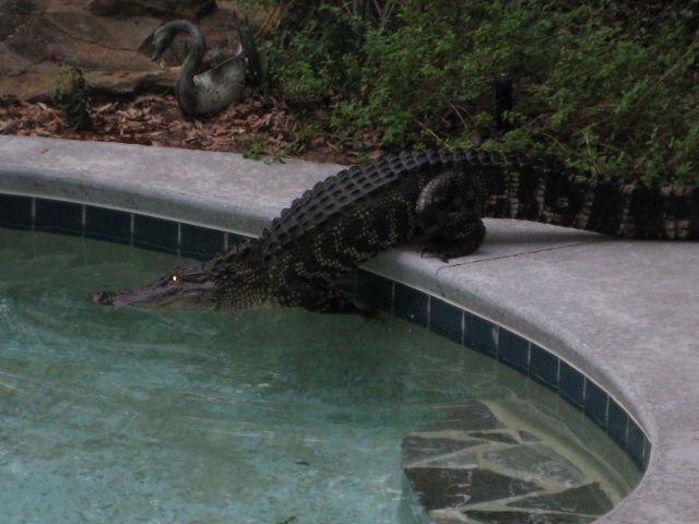PoolGator2010 002 Pool Gator wtf Nature