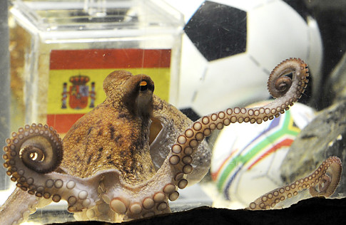 alg octopus Paul   octopus foreseer Sports Nature