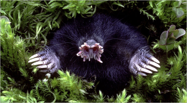 10ugly span articleLarge v2 Star nosed mole wtf Nature