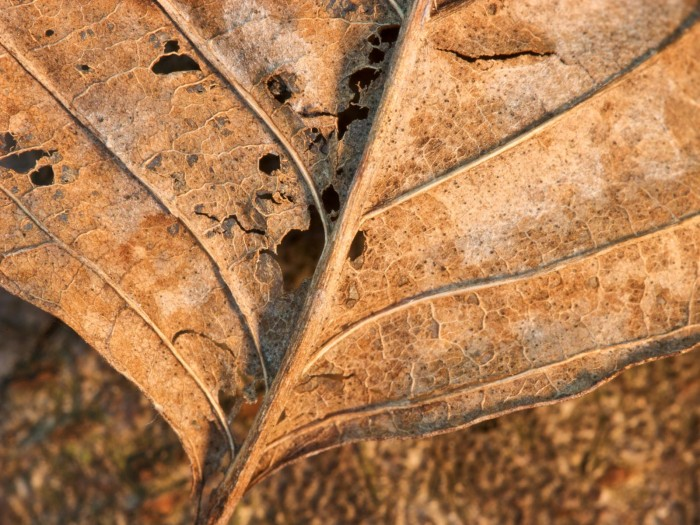 leaves (13) 700x525 Autumn Leaves Wallpapers Wallpaper Nature