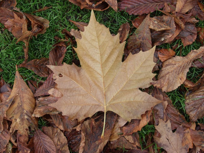 leaves (14) 700x525 Autumn Leaves Wallpapers Wallpaper Nature
