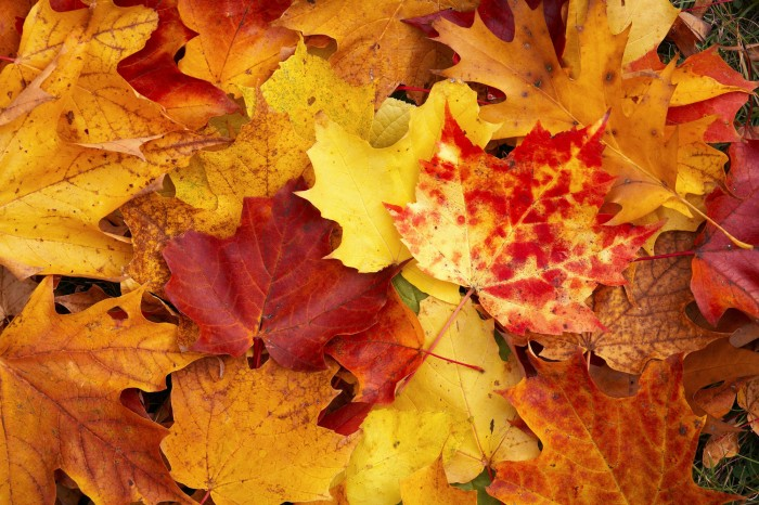 leaves (5) 700x466 Autumn Leaves Wallpapers Wallpaper Nature