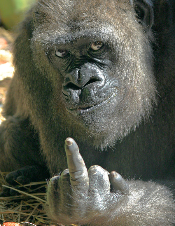 One_Gorilla__s_Opinion_by_tom2001.jpg