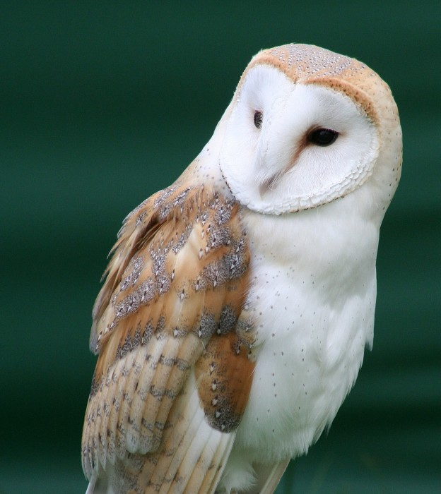 owl 624x700 Barn Owl Nature Awesome Things