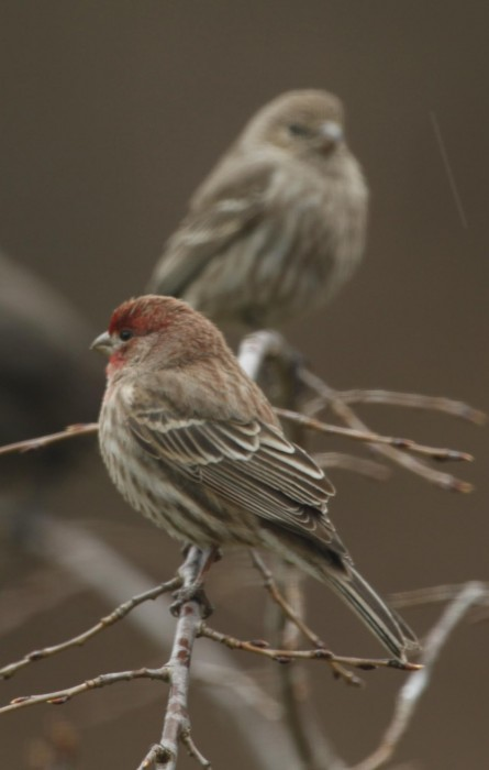 House_Finch_13115227_large.jpg (113 KB)