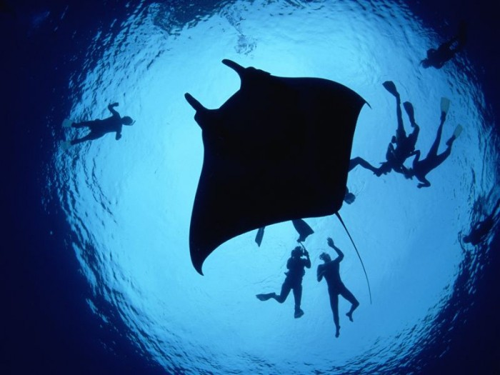 Divers With a Giant Manta Ray 700x525 Divers With A Giant Manta Ray