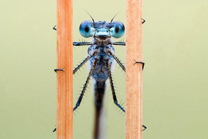 blue damsel fly.jpg (71 KB)