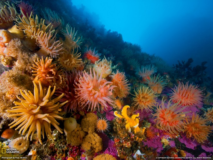 28379 1600x1200 wallpaper cb1289253146 700x525 Anemones and Soft Corals  Nature Cute As Hell Animals