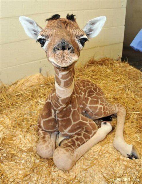 b8d776 01 Baby giraffe