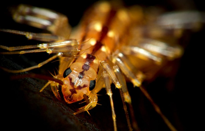 800px HouseCentipedeCloseup 700x448 AWWW! sooo cute!! wtf Nature