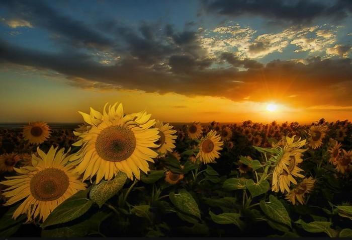 sunflowers.jpg (75 KB)