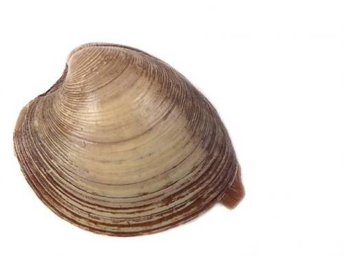 Clam.thumbnail Clam Nature Food