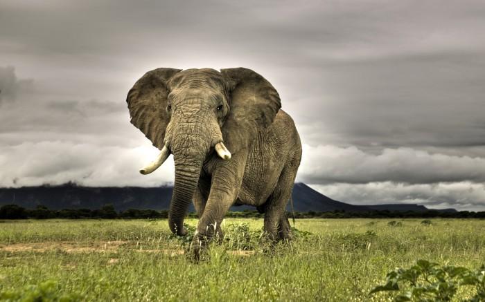 amazing-elephant-wallpaper-1920x1200-1007065.jpg (581 KB)