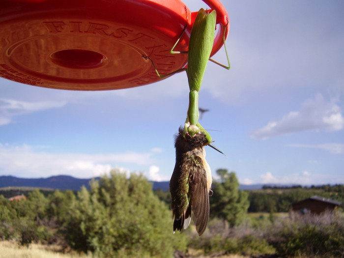 1282290944 01f62a608e b 700x525 Green Death!  Mantis vs Hummingbird wtf Wallpaper Nature