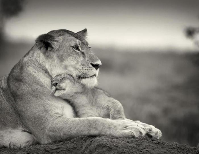 mama and cub 700x542 Lioness and Cub Wallpaper Nature