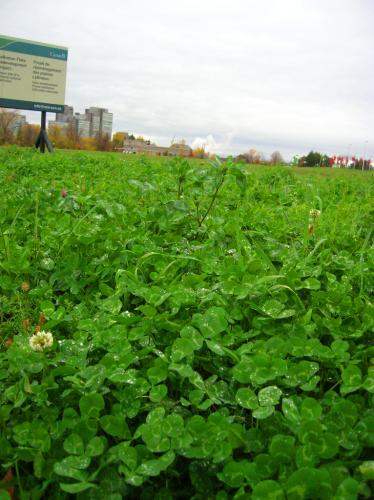 clover.jpg (572 KB)