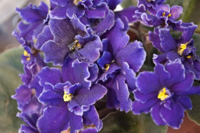 5801583018 af60fd8934 o 700x468 violet flower Nature flowers
