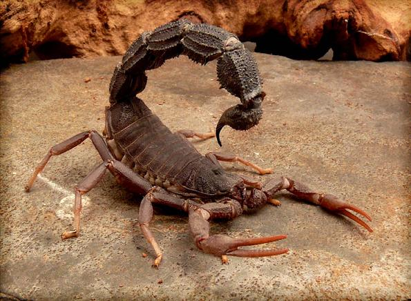 Black-Spitting-Thick-Tail-Scorpion.jpg (84 KB)