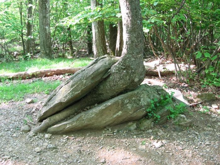 shenandoah-tree1.jpg (225 KB)