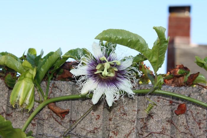 IMG 2053 700x466 Passiflora Edulis   Black Knight