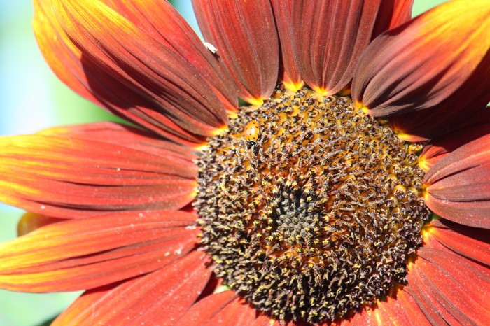 IMG 2067 700x466 Sunflower Wallpapers