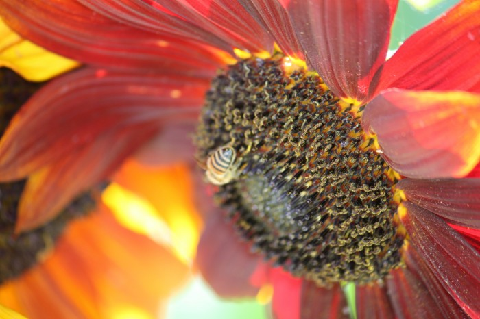 IMG 2370 700x466 Sunflower Wallpapers