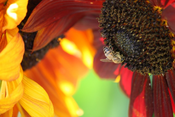 IMG 2374 700x466 Sunflower Wallpapers