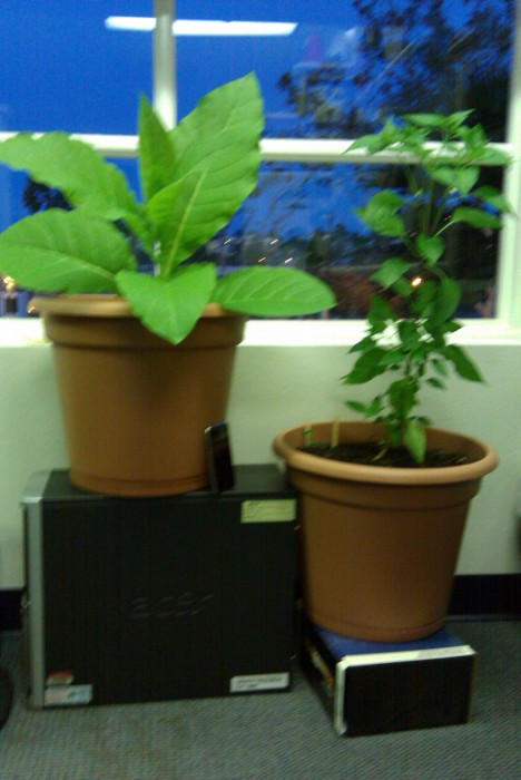 Tobacco plants in my office.