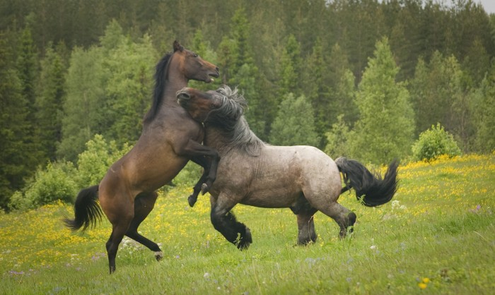 Horse_fight_by_Emeeeliiie.jpg (467 KB)