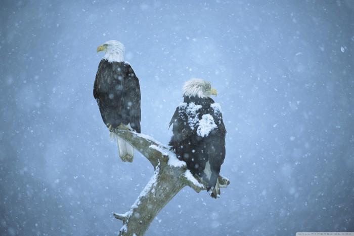 o722005 700x466 snow eagles