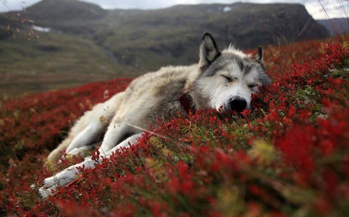 o307106 700x437 resting dog