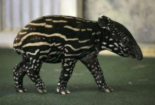 tapir.jpg (69 KB)