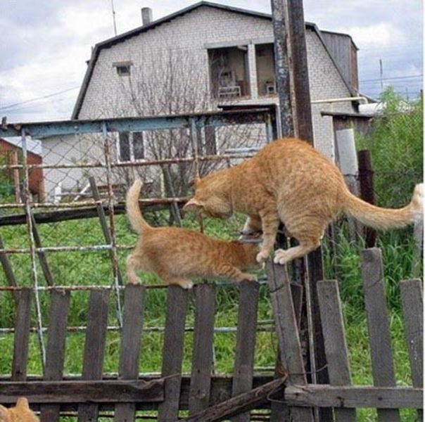catspassing1 Cats Passing Each Other wtf lolcats