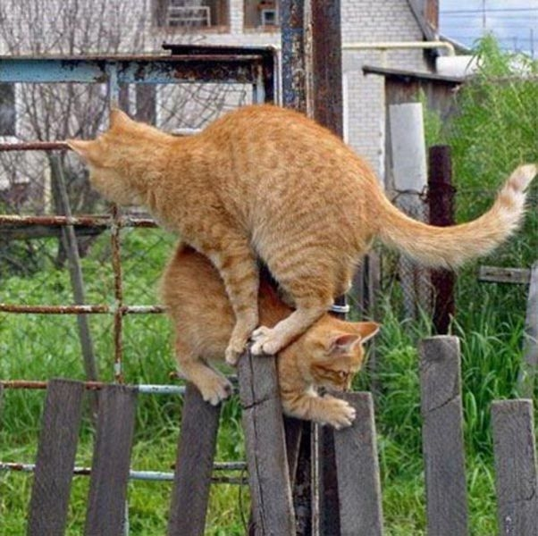 catspassing2 Cats Passing Each Other wtf lolcats