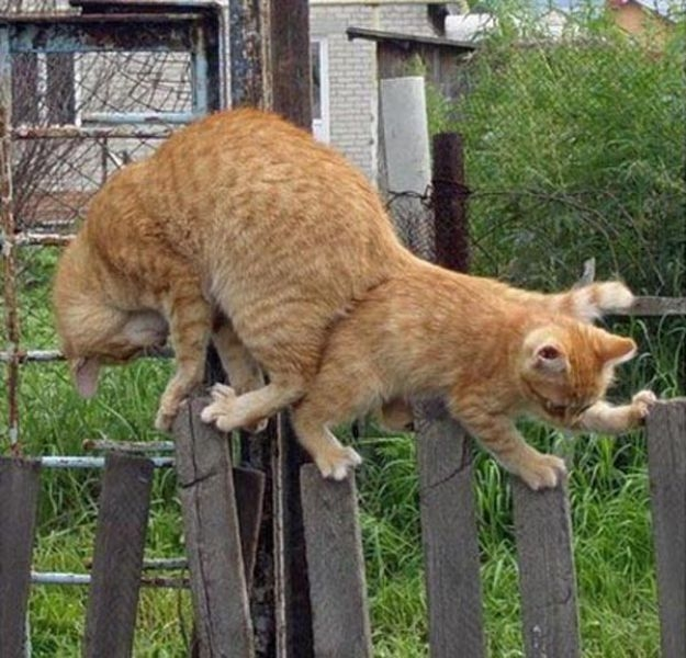 catspassing3 Cats Passing Each Other wtf lolcats