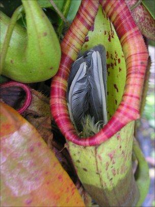 planteatsbird Pitcher Plant Eats Bird wtf flowers birds
