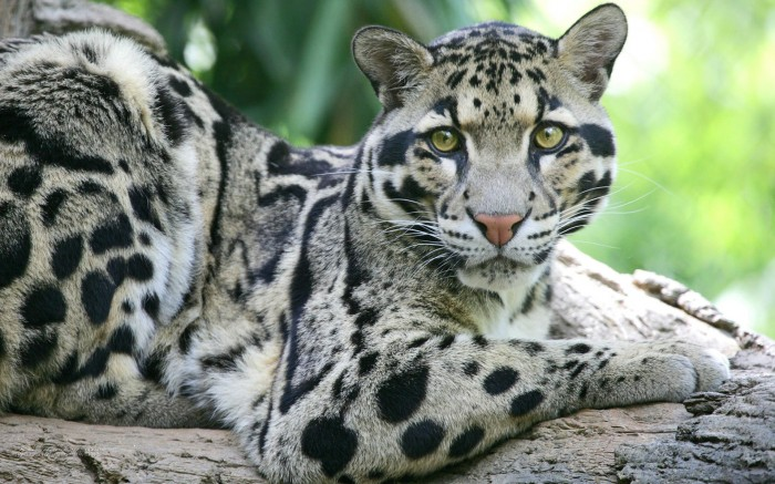 Clouded Leopard wall