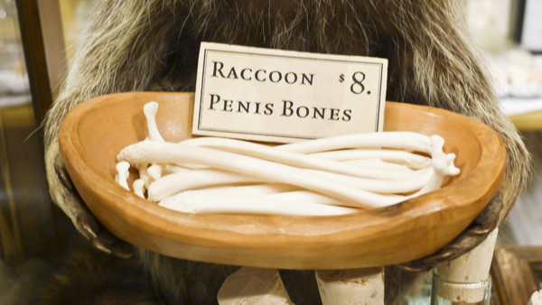 raccoon penis bones 8 evolution store new york city soho skull Raccoon penis