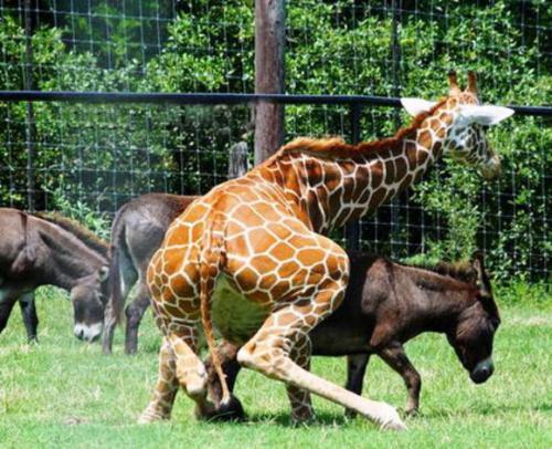 Giraffe No!.jpg (74 KB)