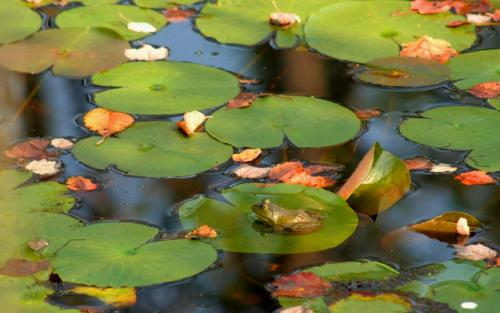 Frog Lily pad Stock pic.jpg (351 KB)
