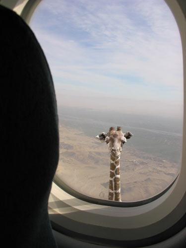 giraffe.jpg (18 KB)