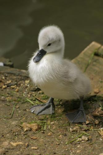 duckling.jpg (159 KB)